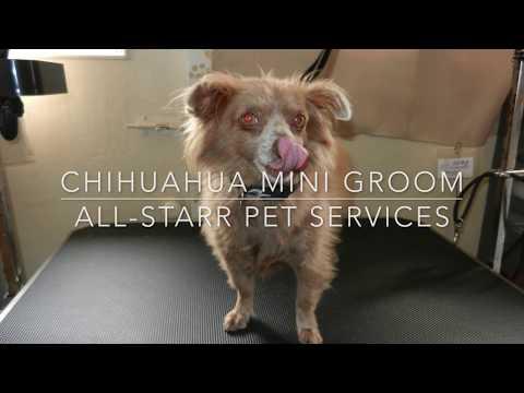 Chihuahua Mini Groom-Tyke