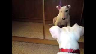 Puppy Bull Terrier Barking At Herself! Must See!