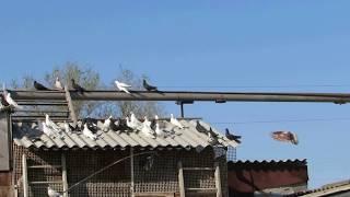 Серпастые голуби часть 4