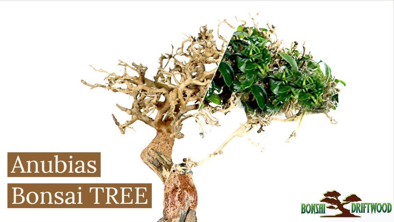 How To Add Anubias Nana To Bonsai Driftwood Aquarium Moss Tree Youtube