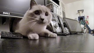 Ragdoll Cat & A Tight Squeeze - Poathtv Funny Cat Video - Poathcats