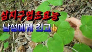 야생음양곽 삼지구엽초효능 ~남성정력강화,냉병,기력튼튼,…