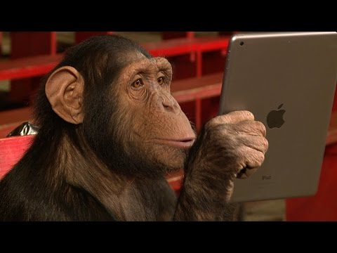 Chimpanzees Get Hipnotized By Apple Electronics