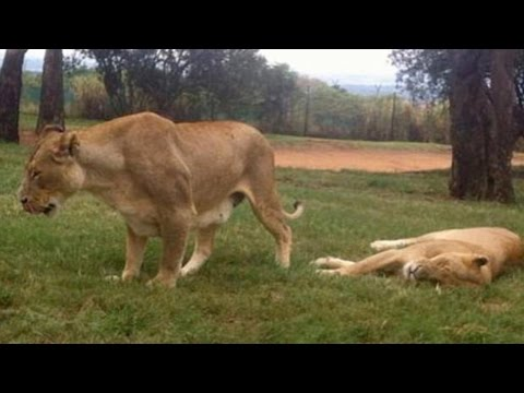 Lion Kills US Tourist in South African Safari Park
