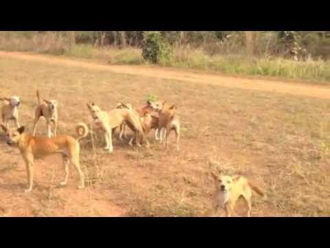 Onlooker gets attacked by wild dogs in Africa