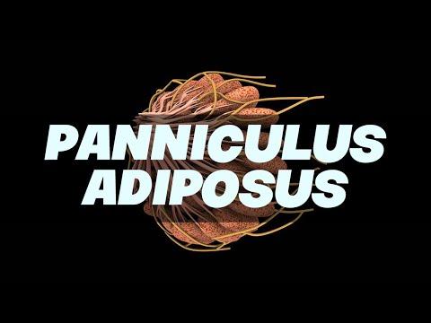 panniculus adiposus simplified - anatomy - youtube, Human Body