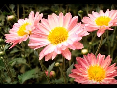 Chatt Par Baghwani - Grow and enjoy Chrysanthemum