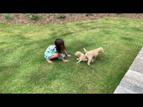PuppyFinder.com : F1b Goldendoodle Puppies