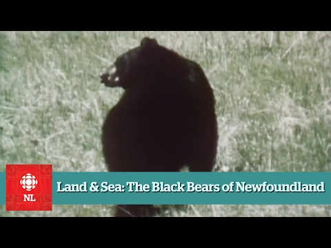 Land & Sea: The Black Bears of Newfoundland