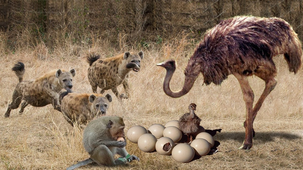 Ostrich Protect Her Eggs From Hyena Hunting. Incredible Ostrich vs Hyena