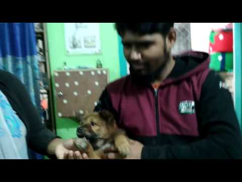 German Shepherd puppy @ Pet Doctor in Bangladesh @ Dr. Sagir's Pet Clinic 01912251312
