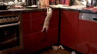 Сурикат штурмует кухонный стол