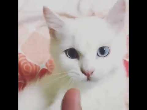 White and blue eyes kitten cat so cute cat video