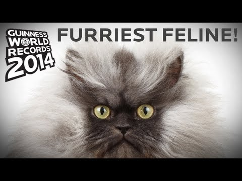 Biggest Cat In The World Guinness 2014 colonel meow - longest fur on a cat! guinness world records 2014