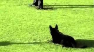 真 正 的 德 國 狼 狗