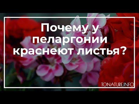 Почему у пеларгонии краснеют листья? | toNature.Info