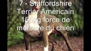 Les Chiens Les Plus Puissant(force De Mâchoire) Top10