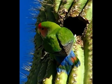 Wild Peach-Faced Lovebirds in Arizona!