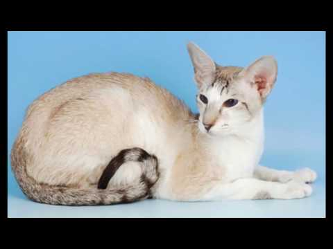 Oriental Cat and Kittens | History of the Oriental Shorthair Cat Breed