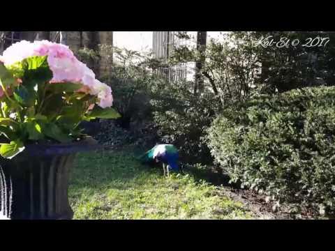 Peacock at Saint John the Divine