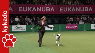 Dalmatian - Crufts - Best Of Breed 2014 - Ch. Solbo's Kayo