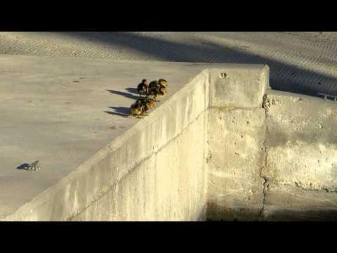 Ducklings Take Huge Leap Into Water (VIDEO)