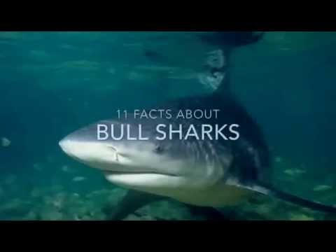 Shark Facts: 11 Facts About Bull Sharks