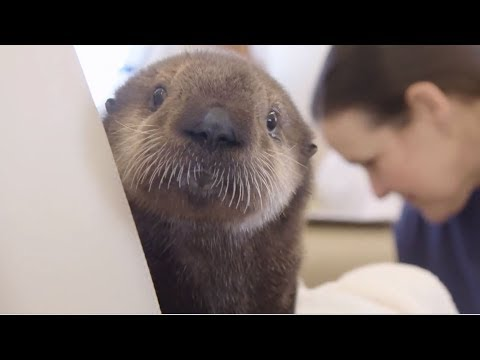 Sea Otter Pups' Journey to Georgia Aquarium