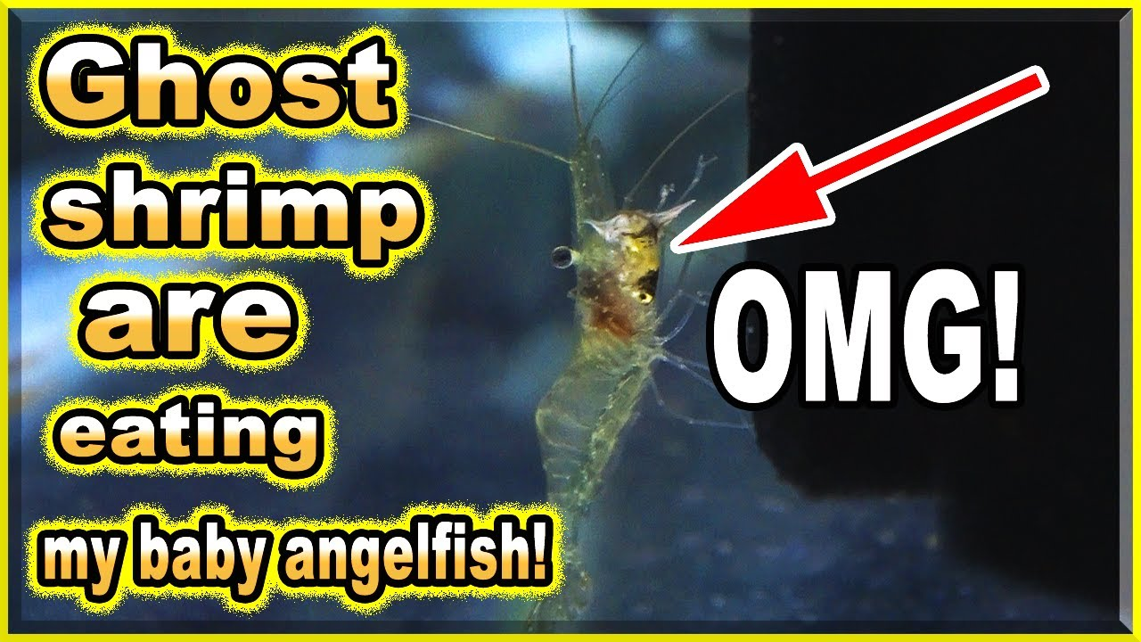 Ghost shrimp are eating my baby angelfish ALIVE!
