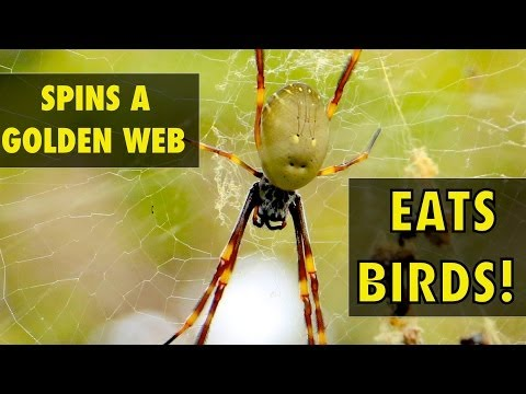 The Spider who Weaves Golden Silk & Eats Birds