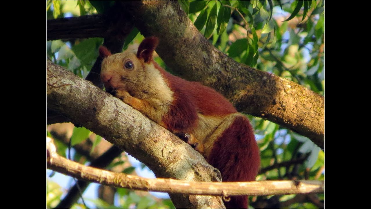 Bhimashankar Forest Trip - Indian Giant Squirrel / Malabar ...