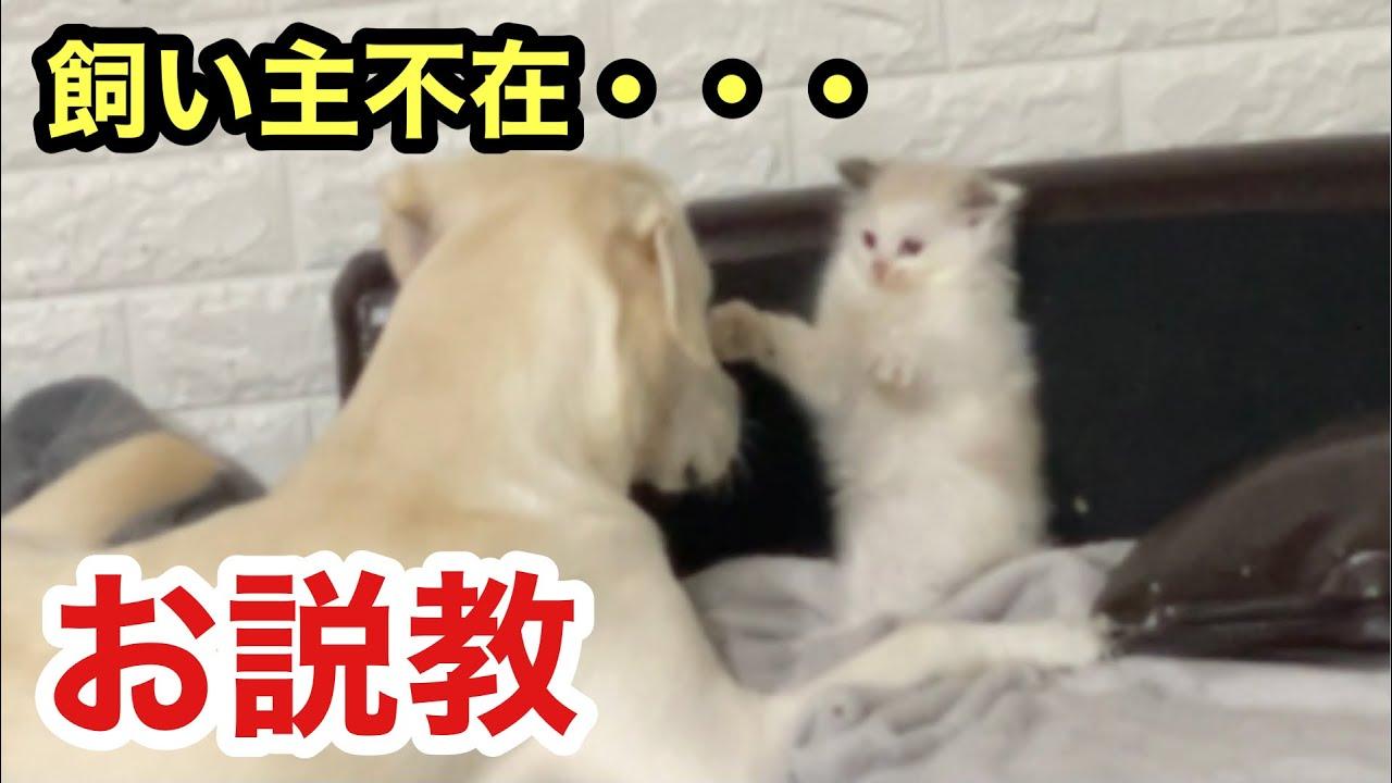 犬と子猫を隠し撮りしたら、いたずらスノーはベルに説教されてました