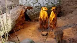 Funny meerkats - Śmieszne surykatki / funny animals - śmieszne zwierzęta