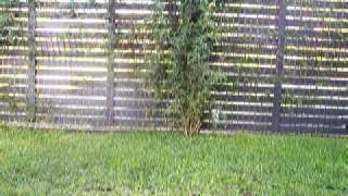 Oscar The Flying Maltese X Silky Terrier