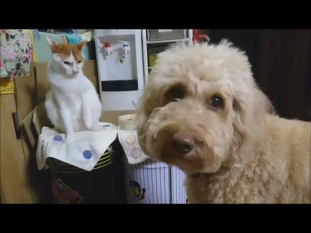 【超高速ねこパンチ!】我が家のお兄ちゃん猫による居候犬への熱血指導
