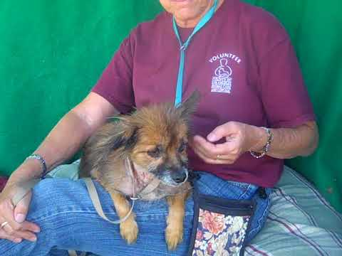 RESCUED! A5109242 Alexander | Border Terrier/Pomeranian