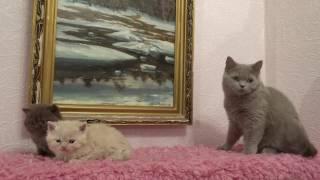 Котята окрас шоколадный и кремовый, продаю, for sаle