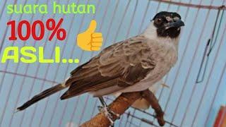 Suara Burung kutilang asli 100% cocok untuk buat pikat burung liar