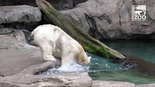 Polar Bear Anana Having Fun with a Ball - Cincinnati Zoo