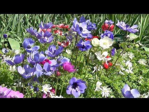 Anemone Coronaria De Caen Farmergracy Co Uk Youtube