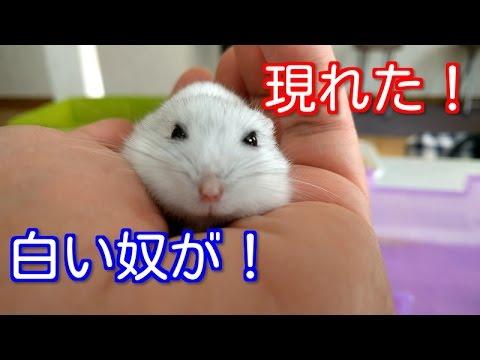 【白い奴が現れた❕】☆ジャンガリアンハムスター☆ A white fellow appeared!☆Djungarian Hamster☆