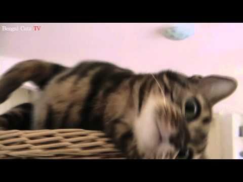 Manjula miaut in einer Tour