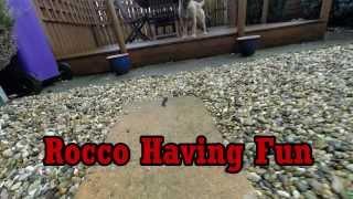 Border Terrier Having Fun - Gopro Studio 2.0
