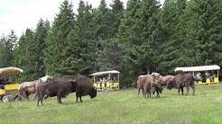 Réserve des bisons d'Europe en Lozère à Sainte-Eulalie