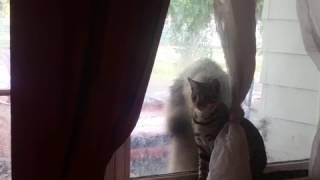 Cat ignores dog frantically pawing at window