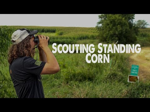Scouting STANDING CORN - PUBLIC LAND