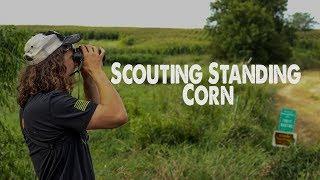 Scouting STANDING CORN - PUBLIC LAND