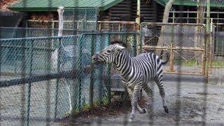円山動物園のダチョウのジュア(メス/2歳)と、 グラントシマウマのヒュウ...