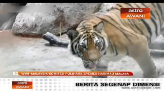 wwf malaysia komited pulihara spesies harimau malaya