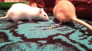 Приколы с крысами:)
